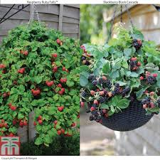 hanging basket berry collection thompson u0026 morgan