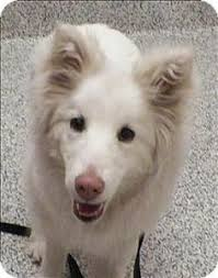 american eskimo dog winnipeg i found mosby on приюты любовь и поцелуй
