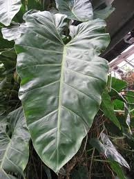 philodendron wikiwand
