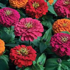 zinnia flower magellan carpet zinnia flower seeds veseys