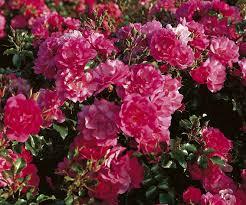 plante vivace soleil 5 arbustes couvre sols pour aménager un talus talus terrain en