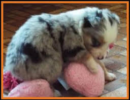 5 week old mini australian shepherd ghost eye mini aussie avail xmas 2014 litter 7 pup6 jessie blue