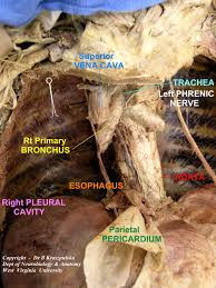 gross anatomy heart gallery learn human anatomy image
