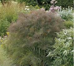 bronze fennel is an italian heirloom delightful not only for