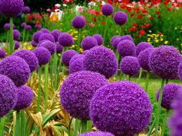 allium flowers 9 best allium images on purple flowers allium flowers