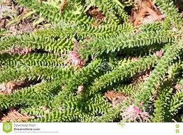 australian native ground cover plants grevillea lanigera woolly grevillea stock photo image 78848165