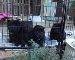 afghan hound breeders qld chow chow breeders in qld pawbase