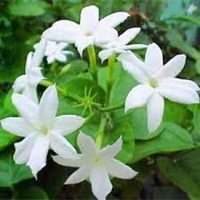 Jasmine Tea Flowers - what u0027s subtly sweet u0026 highly fragrant yes jasmine tea