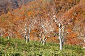 betula ermanii erman s birch