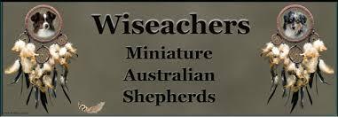 australian shepherd uglies toy mini aussies puppies
