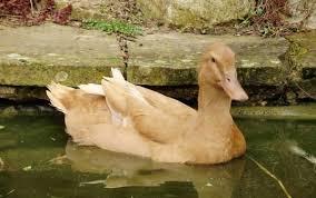 duck breeds golden buffies