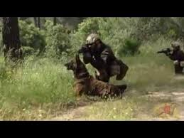 belgian shepherd special forces dogs training special forces youtube