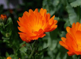 calendula flowers calendula flowers mountain spirit herbal company