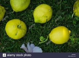 lemons harvested from a backyard lemon tree laying on a patch of