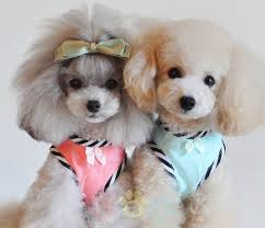 pictures of poodle haircuts poodle cutie dog dogs toy poodle haircuts pinterest