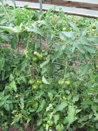 Trellis System Tomato Cages Stakes Or Trellises Which Is Best For Supporting