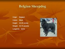 belgian sheepdog size and weight herding group dogs in the herding group all share the ability to