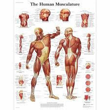 Anatomy Of Human Back Muscles Human Muscle Chart Human Muscle Poster Human Musculature Chart