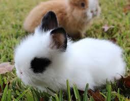 lion heads for sale rabbits lops netherland dwarfs and lionheads for sale