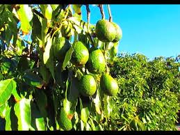 is healthy avocado tree in california thousands of fruits and