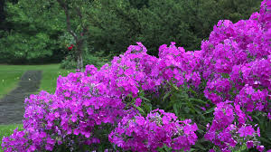 Phlox Flower Pink Phlox Flower Bed And Heavy Rain Water Drops Fall On Plant