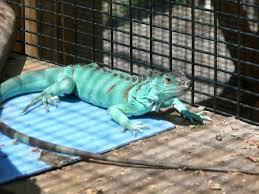 10 types of iguanas u0026 morphs clubfauna