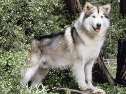 australian shepherd sheltie mix dog