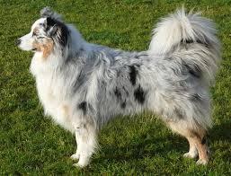 pictures of australian shepherd dogs australian shepherd international biosciences uk