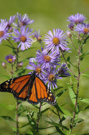 washington state native plants 21 best monarchs and native plants images on pinterest native