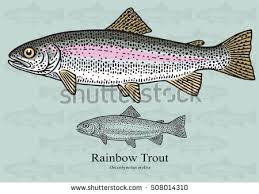 rainbow trout stock images royalty free images u0026 vectors