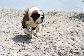 belgian malinois insurance elbow dysplasia canine elbow dysplasia in dogs