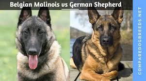 belgian shepherd vs doberman belgian malinois vs german shepherd compare dog breed