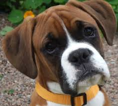 boxer dog price the boxer descendent of the great molossus
