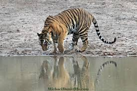 wild tiger photos tiger photography tiger pics tiger pictures