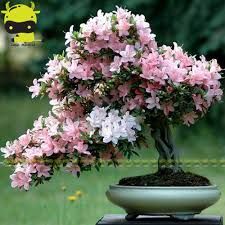 blossom trees top types of cherry blossom trees at types japanese sakura cherry