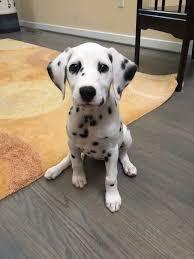 25 dalmatians ideas dalmatian dalmatian