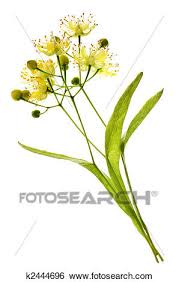 linden flower stock images of linden flower k2444696 search stock photography