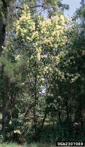 non native invasive plants japanese glossy privet nonnative invasive plants of southern