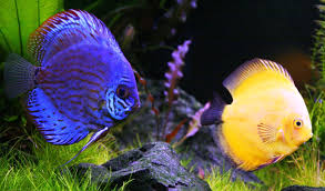 ornamental fish farming in singapore world agriculture