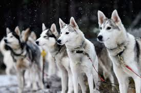 the 33rd aviemore sled dog rally huskies and mushers prepare for