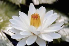 What Is Orange Flower Water - how long does it take for a water lilly to reach maturity home