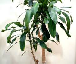 remarkable extraordinary common poisonous house plants new