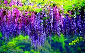japan flower tunnel kawachi fuji gardens japan feel the planet