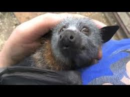 As Blind As A Bat Meaning Juvenile Bat Squeaks While Being Petted Youtube