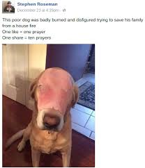 Stephen Dog Meme - fact check does this photograph show a dog burned while rescuing