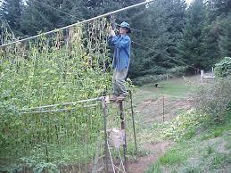 Trellis Poles Trellis Design Growing Pole Beans Trellis Growing Pole Beans