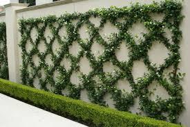star jasmine on trellis great design plant fragrant trachelospermum jasminoides
