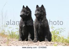 belgian sheepdog groenendael puppies for sale dog belgian shepherd groenendael two adults sitting in path