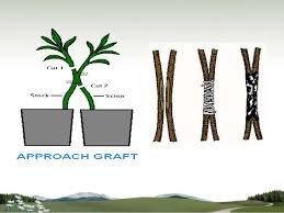 Vegetative Propagation By Roots - cultivation of medicinal plants by vegetative asexual propagation