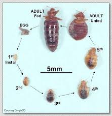 Powder That Kills Bed Bugs Bedbugs And Their Proper Control United Exterminating Company